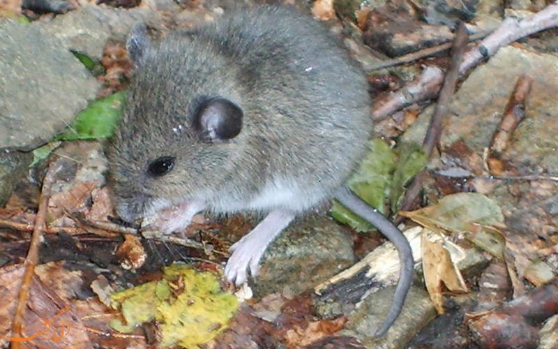 موش کوتوله کوهی