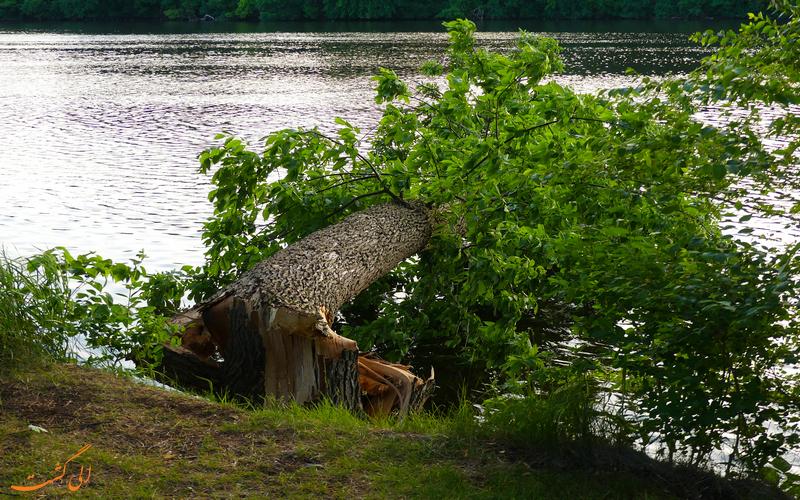 درختی شکسته شده در اثر صاعقه