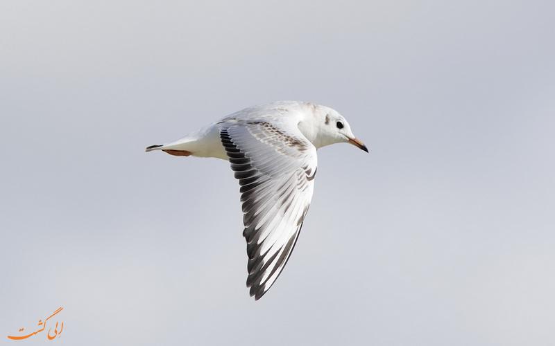پرندگان تالاب انزلی