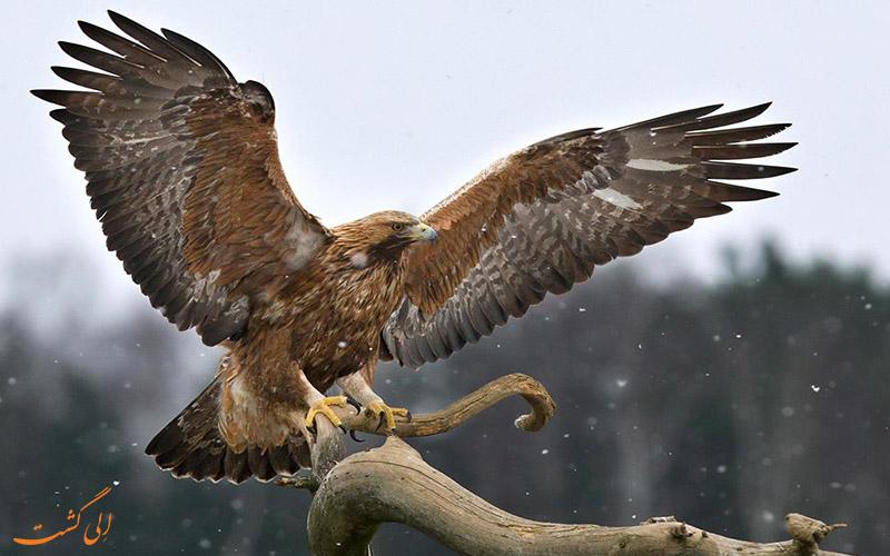Aquila-chrysaetos - عقاب طلایی
