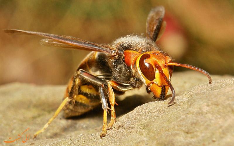 زنبور سرخ غولآسای ژاپنی