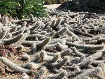 کاکتوس خزنده در مکزیک