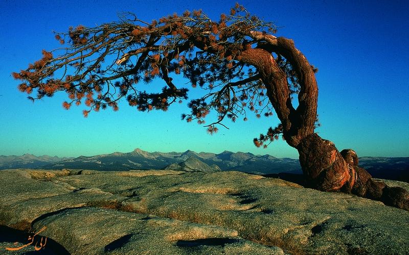درخت جفری قبل از خشک شدن
