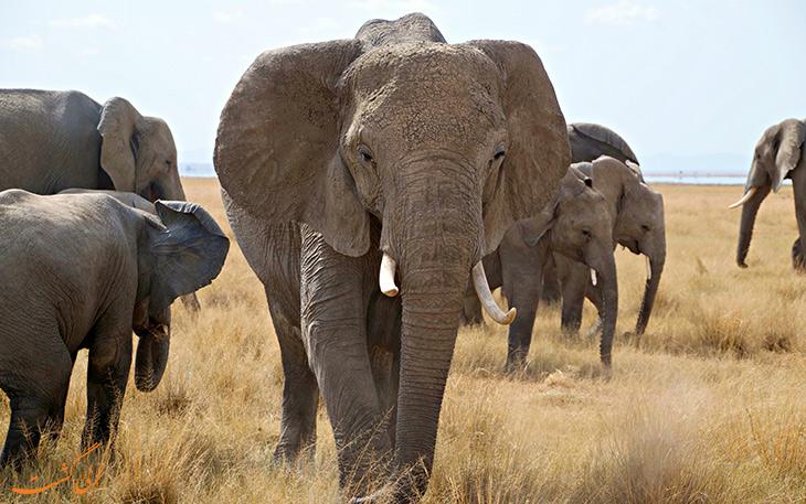 تماشای گله فیل های در منطقه آمبوسلی
