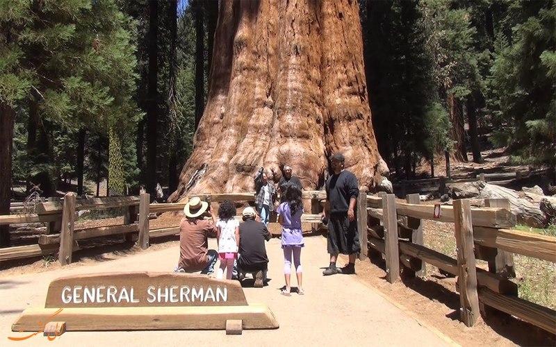 درخت جنرال شرمن