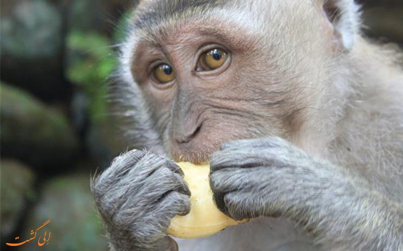 نکات سفر به بالی - میمون های بالی