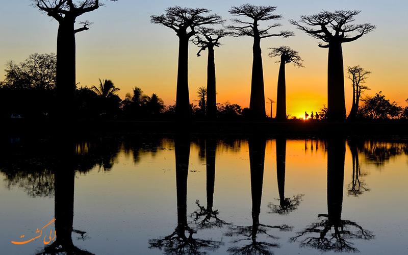 درختان بائوباب در ماداگاسکار