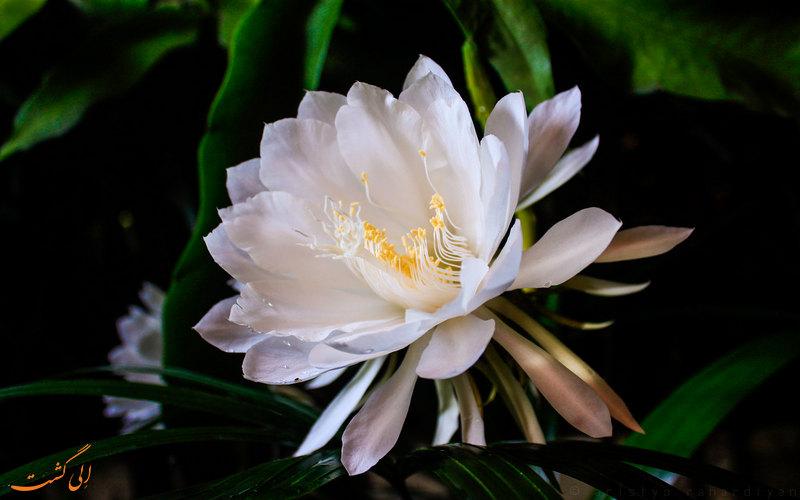 گل ملکه شب