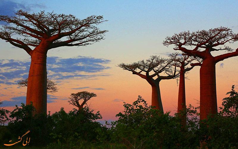 مرگ درختان بائوباب