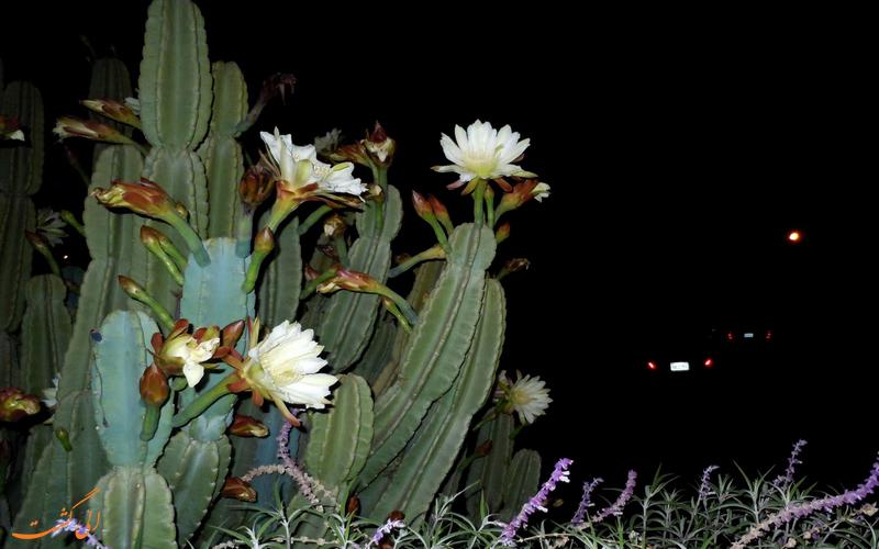 گل زیبای ملکه شب