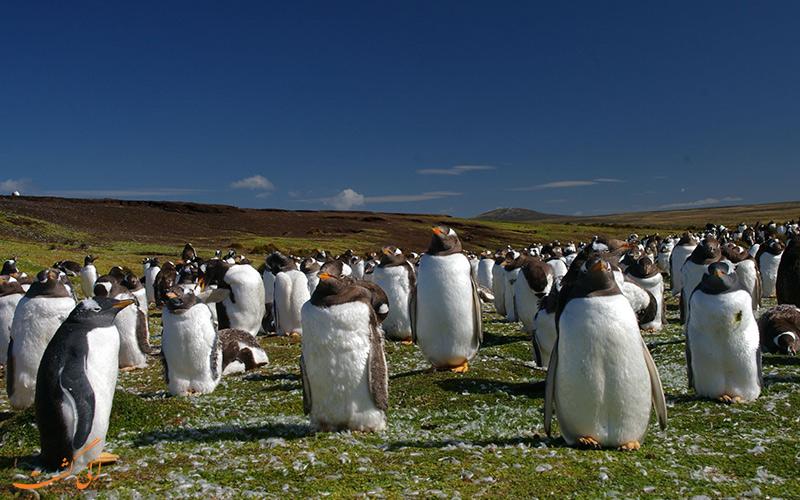 پنگوئن های شبه جزیره فالکلند