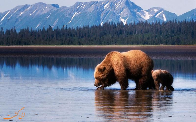 خرس های مخصوص آلاسکا