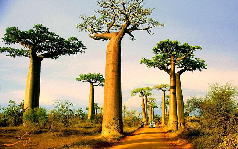 درختان بائوباب