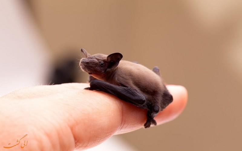 خفاش پشمالو