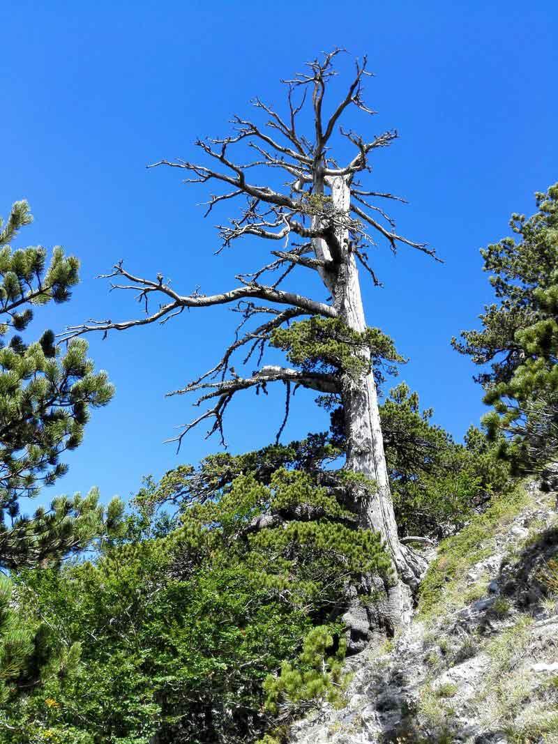 درخت ایتالوس قدیمی ترین درخت اروپا
