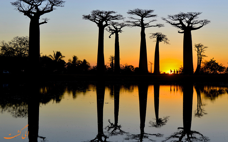 زیبایی درختان باوباب