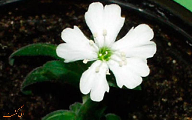 گل قدیمی