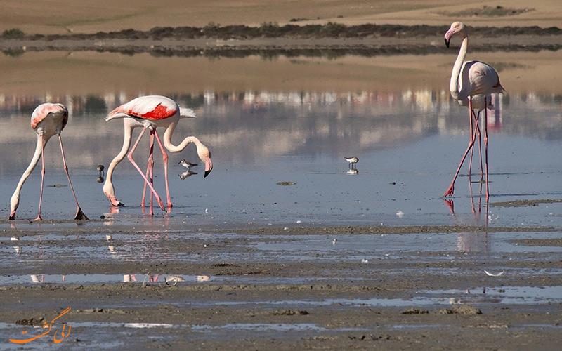 مهاجرت فلامینگوها در زمستان بهه دریاچه نمک لارناکا