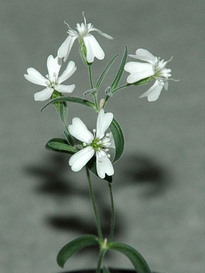 قدیمی ترین گل دنیا