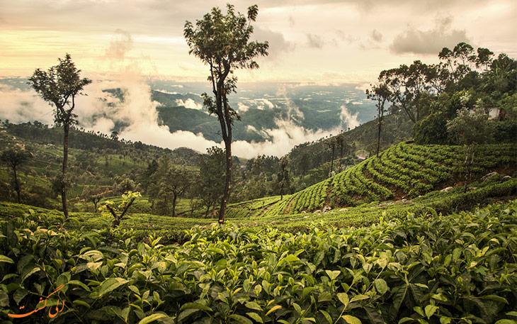 مزرعه چای سیلان