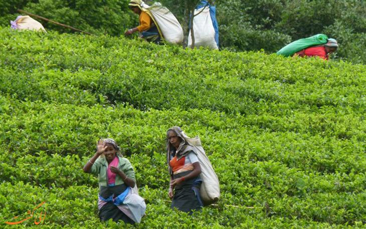 تاریخچه چای در سریلانکا