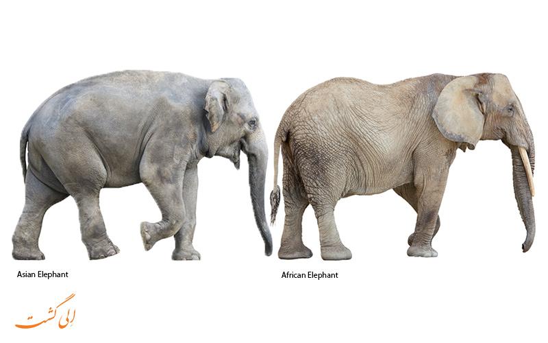 فرق فیل آفریقایی و آسیایی