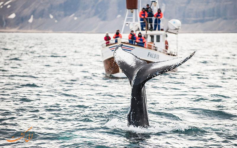 تماشای نهنگ در ایسلند
