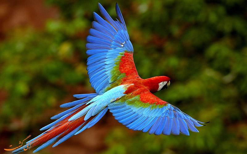 طوطی آمریکای جنوبی