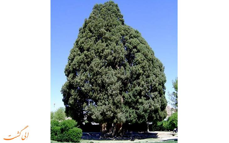 درخت سرو ابر کوه