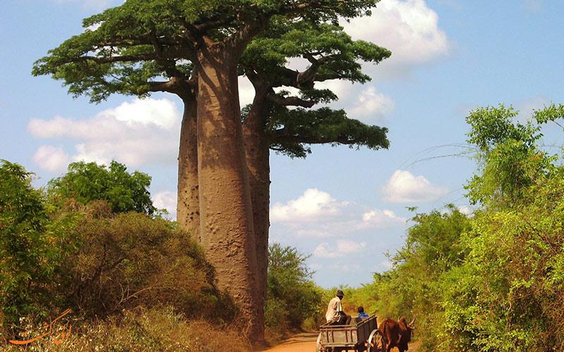 سافاری در ماداگاسکار