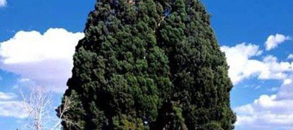 درخت سرو ابرکوه