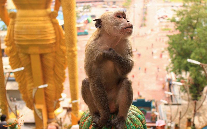 میمون های رها در محوطه غارهای باتو کوالالامپور