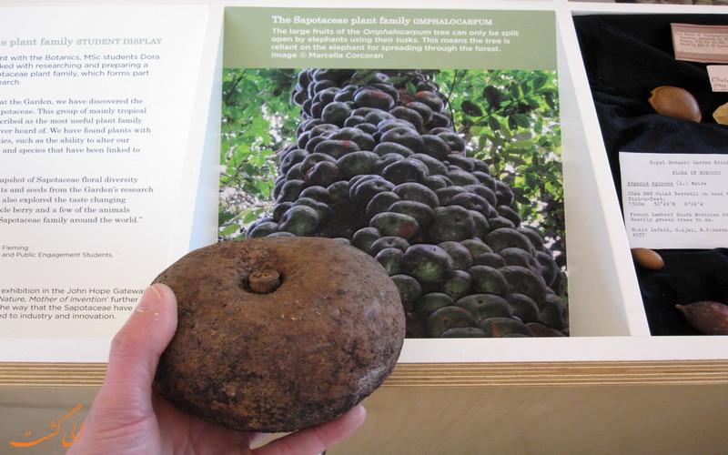 میوه درخت دودو