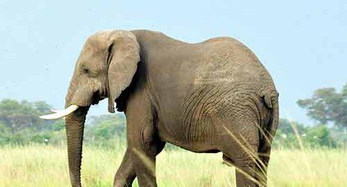 فرق فیل ها