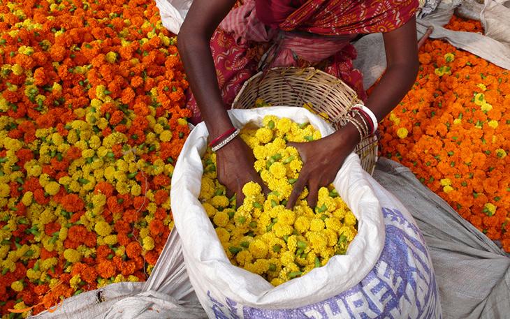 فروش گل جعفری در هند