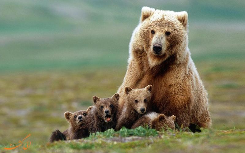 خرس-قهوه-ای