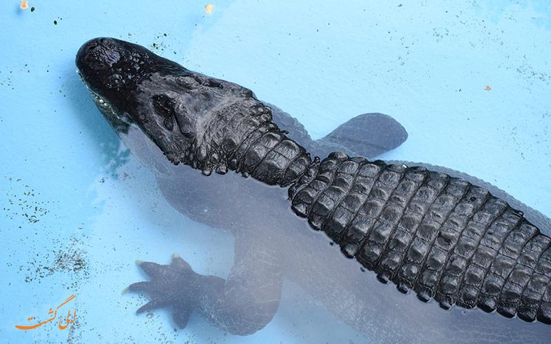 پیرترین تمساح جهان