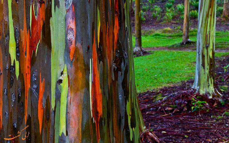 اکالیپتوس Rainbow-Eucalyptus
