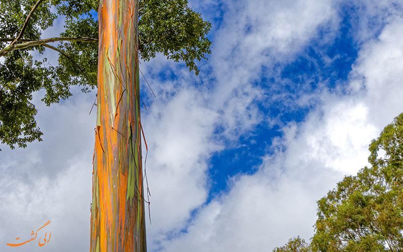 درخت اکالیپتوس به نام رنگین کمان