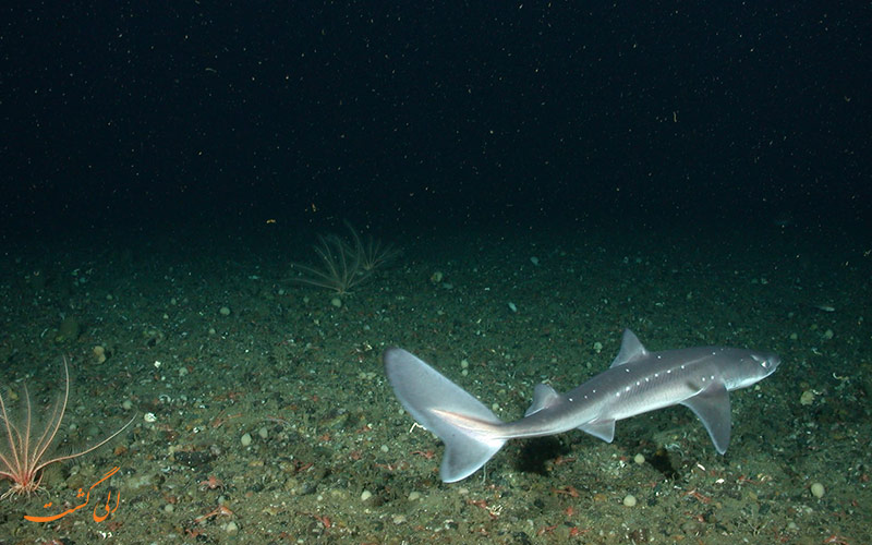 کوسه ماهی خاردار