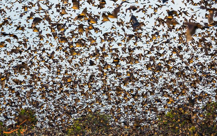 بزرگ ترین مهاجرت خفاش ها در دنیا
