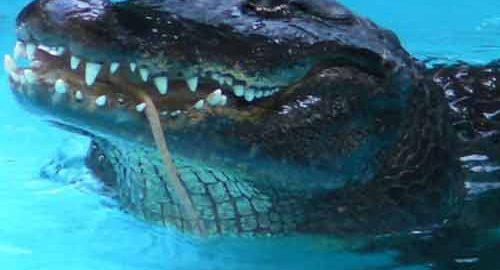 تمساح جهان
