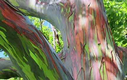 درخت رنگین کمان
