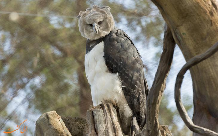 عقاب هارپی