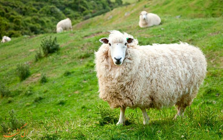 گوسفند نیوزلندی