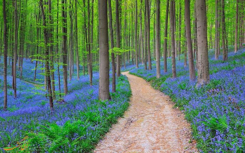 جنگل زیبای راش