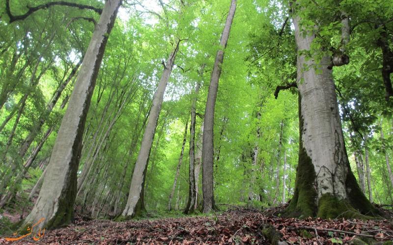 جنگل زیبای راش سوادکوه