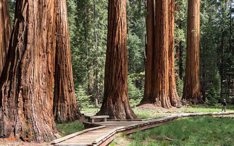 سکویا، بزرگترین درخت جهان