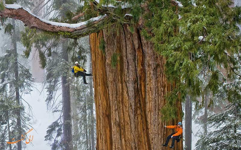 درخت سکویا، بزرگترین درخت جهان
