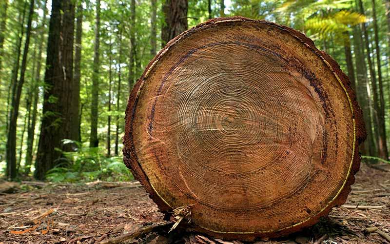 تنه درخت سکویا